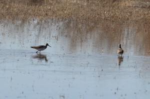 yellowlegs4
