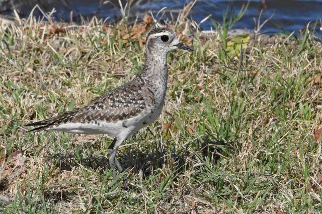 American Golden-Plover - Sandia Wetlands, Balmorhea, Texas
