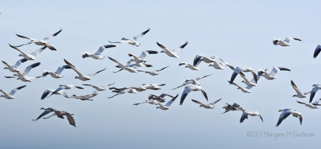 geese-9334