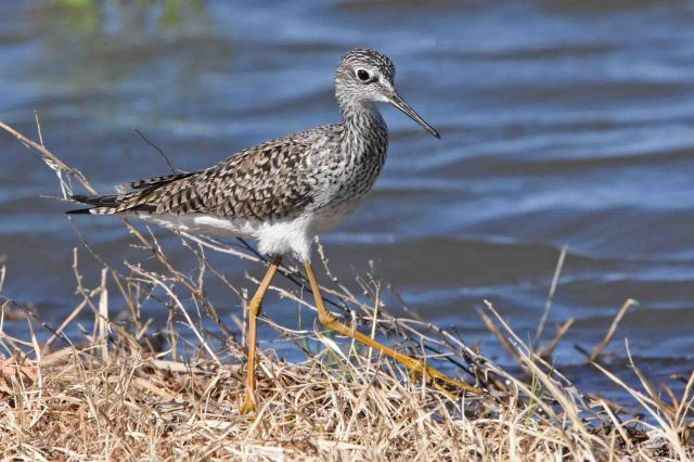 Lesser Yellowlegs - Sandia Wetlands, Balmorhea, Texas