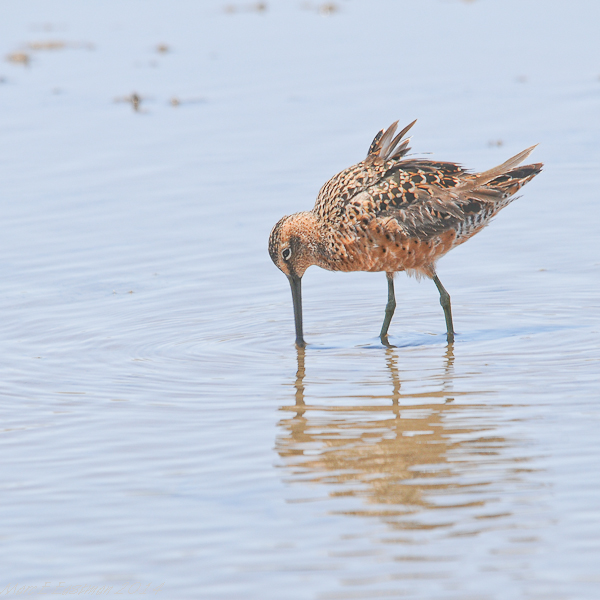 long-billed-dowitcher-0155