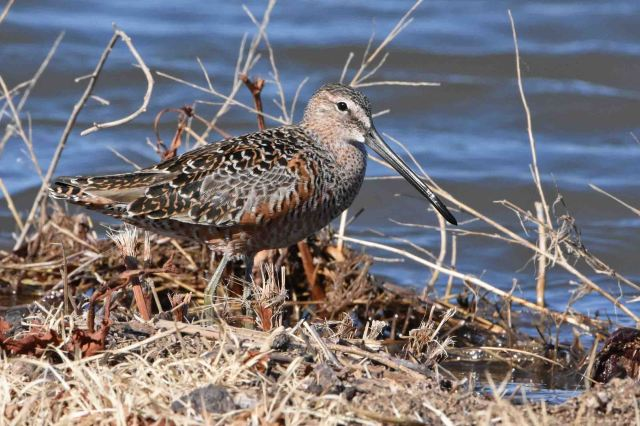Long-billed Dowitcher - Sandia Wetlands, Balmorhea, Texas