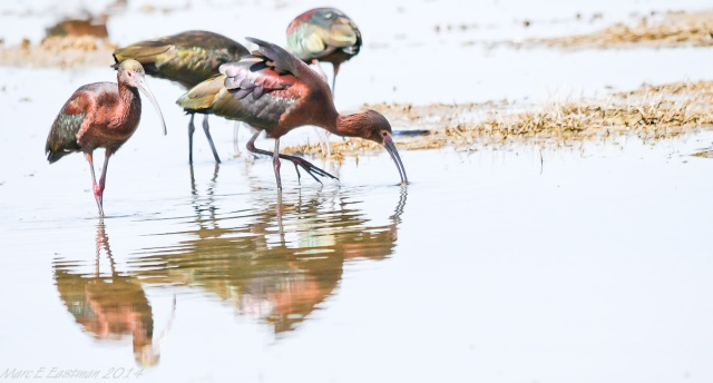 white-faced-ibis-350